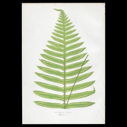 Polypodium latipes Fern - Circa 1860 Print