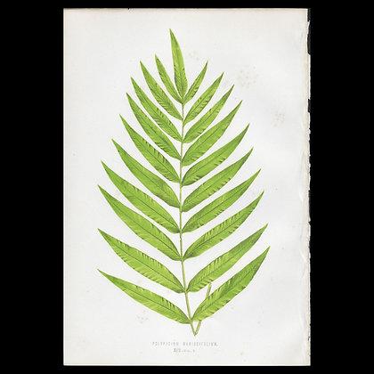 Polypodium meniscifolium - Circa 1860 Print