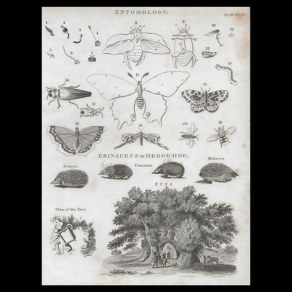Various Insects and Hedgehogs- Circa 1820