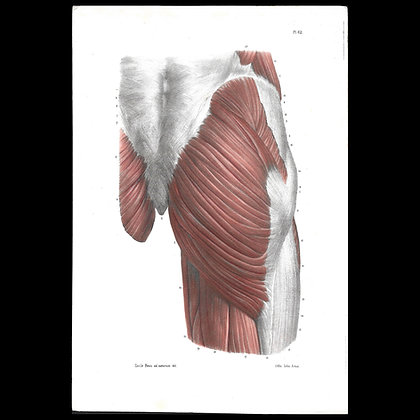 Plate 62 - Muscles of the Buttock . Original 1847 Print.