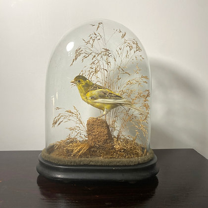 Victorian Domed Finch
