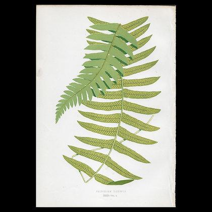 Polypodium dissimile - Circa 1860 Print
