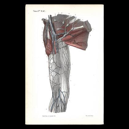 Plate 47 - Lymph Nodes of the Shoulder . Original 1847 Print.