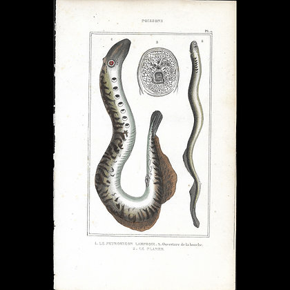 Lamprey  - Hand Coloured Plate Circa 1860