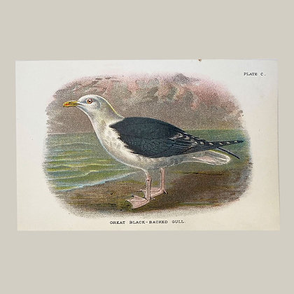 Great Black Beaked Gull, Small Plate Print -1893