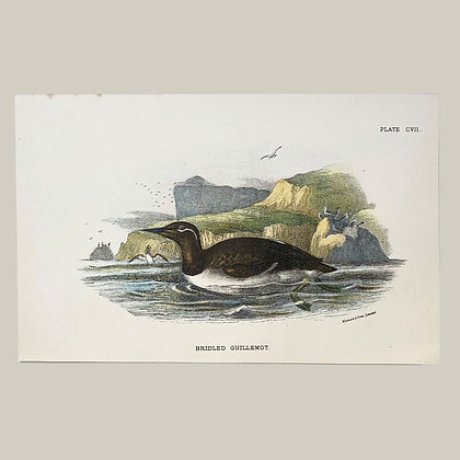 Birdled Guilemot, Small Plate Print -1893
