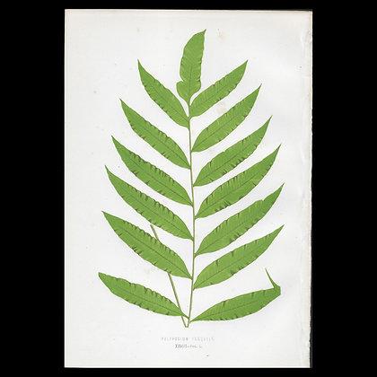 Polypodium inaquale - Circa 1860 Print