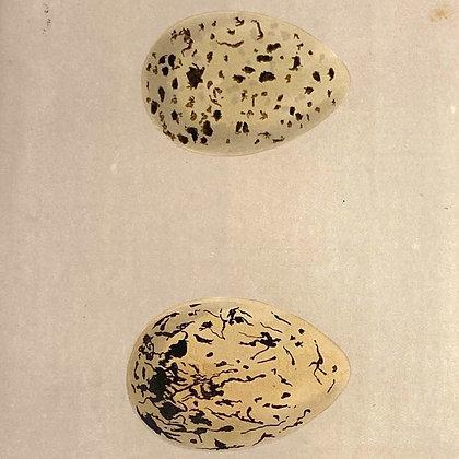 Oyster Catcher, Egg Print Circa 1890