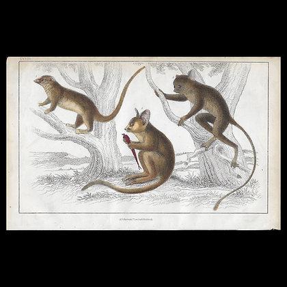 Possum - 1858 Hand Watercoloured Print