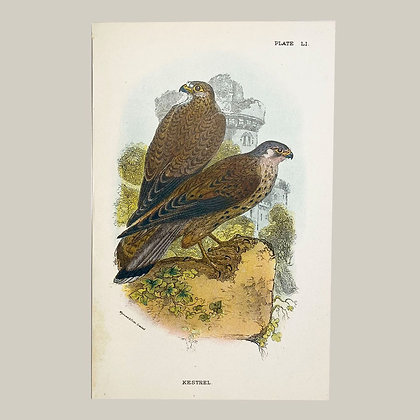 Kestrel, Small Plate Print -1893