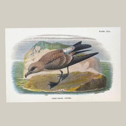 Fork Tailed Petrel, Small Plate Print -1893