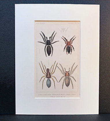 Arachnid Plate 3 - Hand Coloured Circa 1860