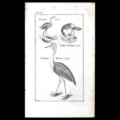 Oyster Catcher - 1792 Copper Plate Engraving P64
