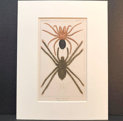 Arachnid Plate 3B - Hand Coloured Circa 1860
