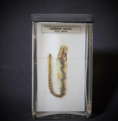 Earth Worm - Fluid Preserved Teaching Specimen