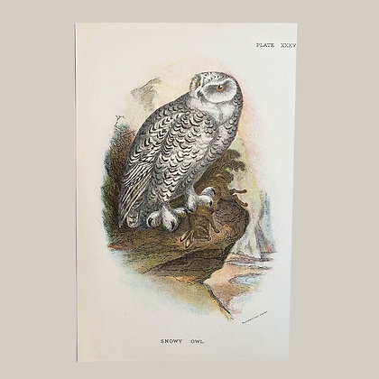 Snowy Owl, Small Plate Print -1893