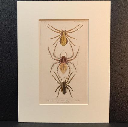 Arachnid Plate 9 - Hand Coloured Circa 1860