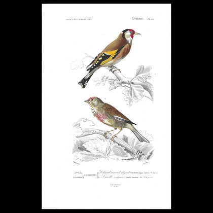 Goldfinch and Common Linnet - Handcoloured 1863 Print