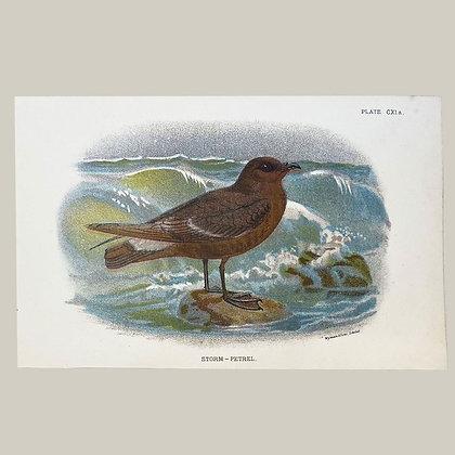 Storm Petrel, Small Plate Print -1893