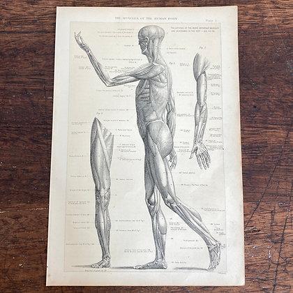 Full Human Muscular Plate Print