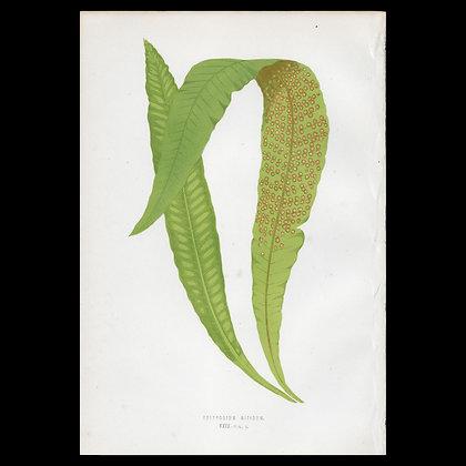 Polypodium nitidum - Circa 1860 Print