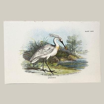 Spoonbill, Small Plate Print -1893