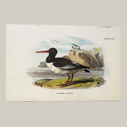 Oyster Catcher, Small Plate Print -1893