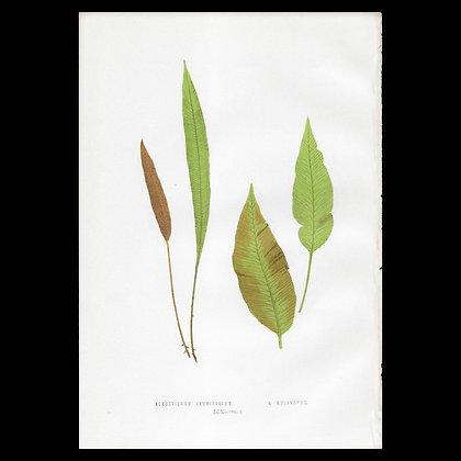 Acrostichum laurifolium A. mellanopus - Circa 1860 Print