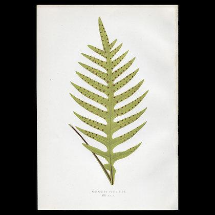 Polypodium pustulatum - Circa 1860 Print