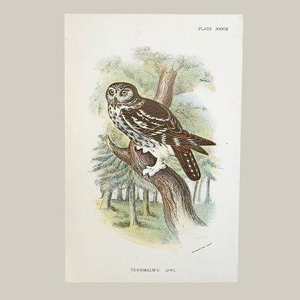 Tengmalms Owl, Small Plate Print -1893