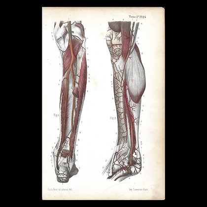 Plate 24 - Arteries of The Leg. Original 1847 Print.