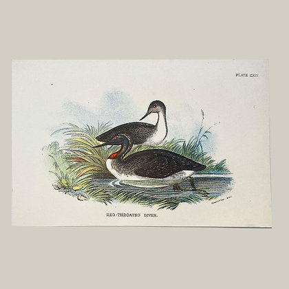 Red Throated Diver, Small Plate Print -1893