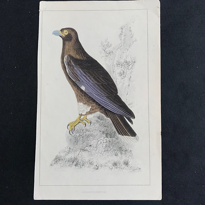 Bird of Prey Hand Coloured Print circa 1830