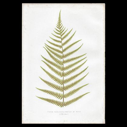 Cythea medullaris - Circa 1860 Print