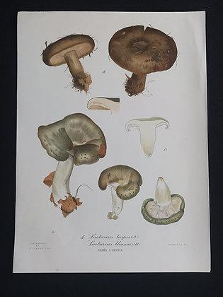 Lactarius turpis (Ugly Milk Cap) Fungus
