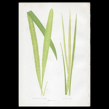Polypodium rigidum  - Circa 1860 Print