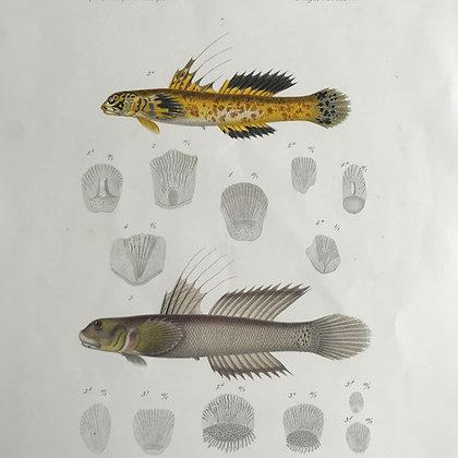 Gobies - 1861 Choromolithograph Print.
