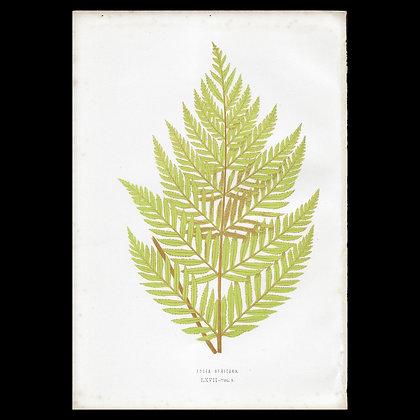 Todea africana - Circa 1860 Print