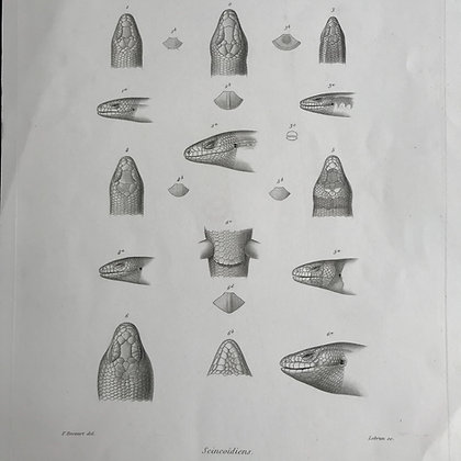 Scincoidiens - 186 Plate 22