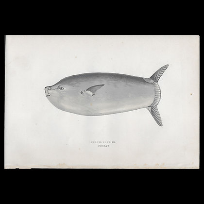 Longer Sunfish - Circa 1865 Print