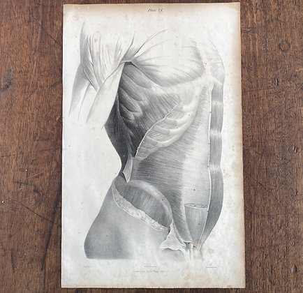 Large Lithograph Print Showing Muscles of Abdomen -  Plate 25