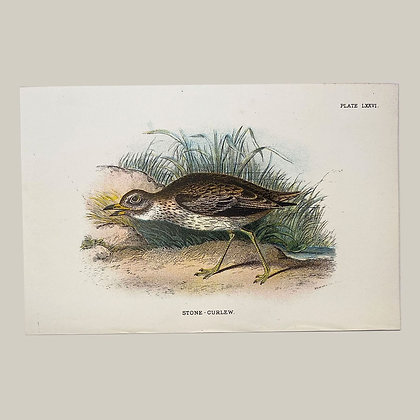 Stone Curlew, Small Plate Print -1893