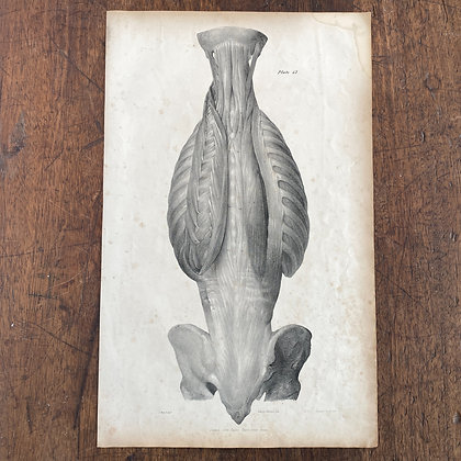 Large Lithograph Print Showing Muscles of the Inner Back -  Plate42