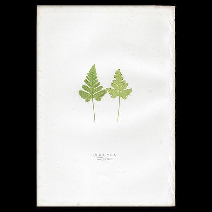 Davallia pedata - Circa 1860 Print