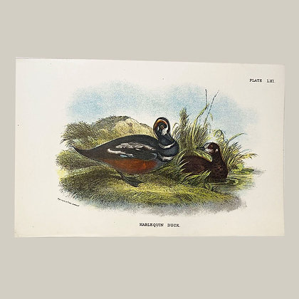 Harlequin Duck, Small Plate Print -1893