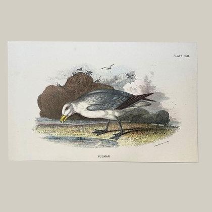 Fulmar, Small Plate Print -1893