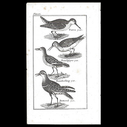 Sand Piper - 1792 Copper Plate Engraving P68