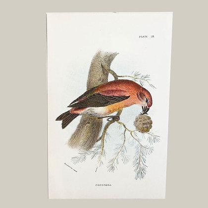 Crossbill, Small Plate Print -1893