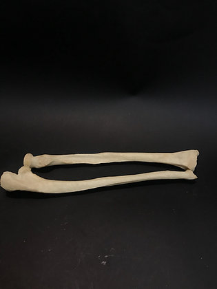 Medical Teaching Left Human Forearm