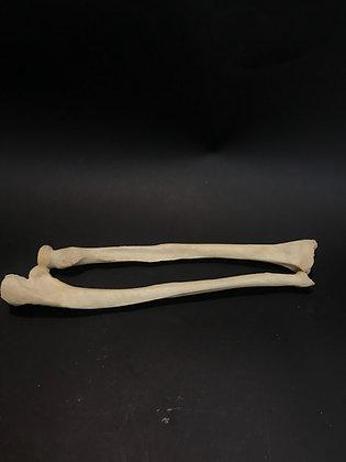 Medical Teaching Left Human Forearm
